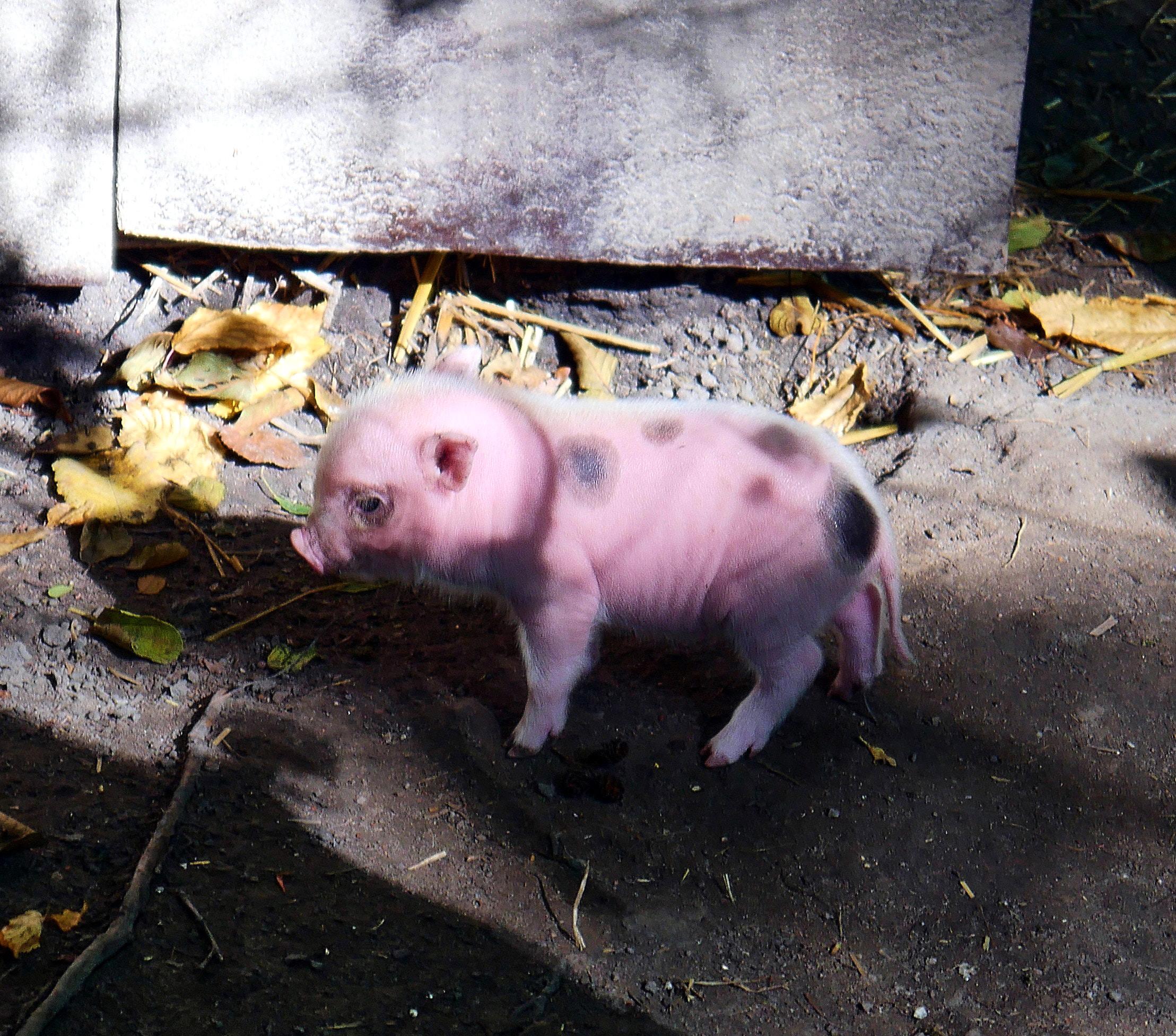 Schweinchend.jpg