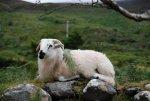 Irish_Sheep.jpg